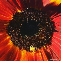 spider in sunflower